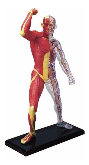 Famemaster 4d-vision Muscular Humano Y Esqueleto Anatomía