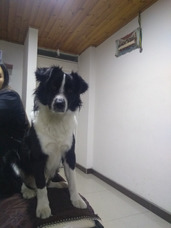 Border Collie Macho Para Monta
