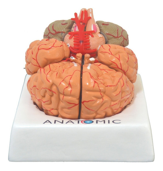 Cérebro Anatômico 9 Partes Artérias Lobo Frontal Temporal