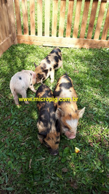 Filhote Mini Pig, Mini Porco, Micropig, ( Macho )