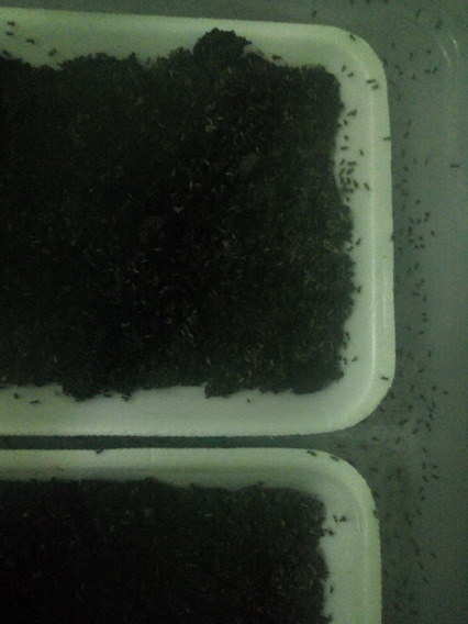 Grilo Negro Ninfas 0,5 Mm - 300 Unidades