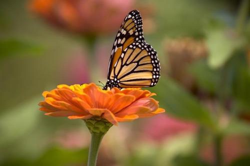 Imagen 1 de 5 de Semilla De Flor Para Atraer Mariposas (zinnia Enana)