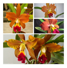 Orquídea Port. Egyptian Queen Muda