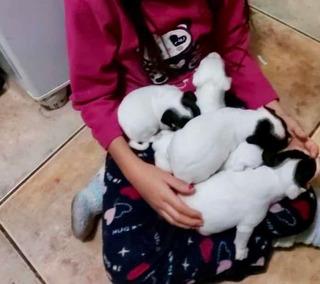 Cachorros Fox-terriers Chilenos