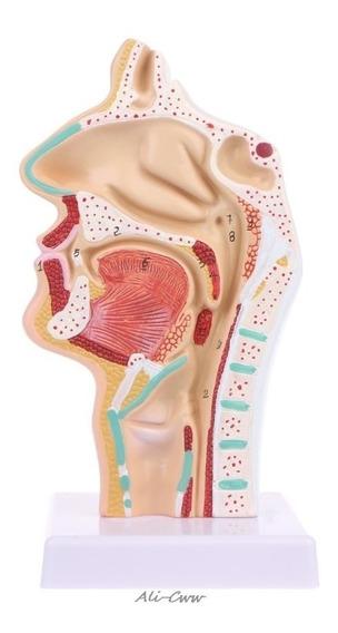 Anatomia Nasal Cavidade Humana Fisiologia Medicina Nariz