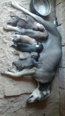 Dosmesticador De Cães