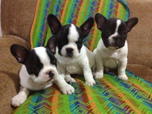 Cachorros Bulldog Francés, Padres Importados Full Pedigri