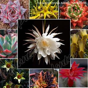 Suculentas Sementes 250unidades Cactos Orquídea Flores Mudas