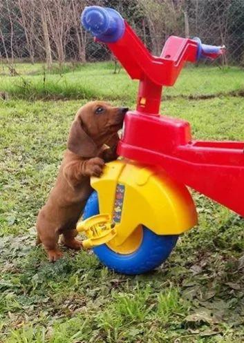 Cachorro Dachshund Salchichas Los Mas Mini !