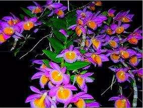 Orquídea Dendrobium Loddigesii Nova