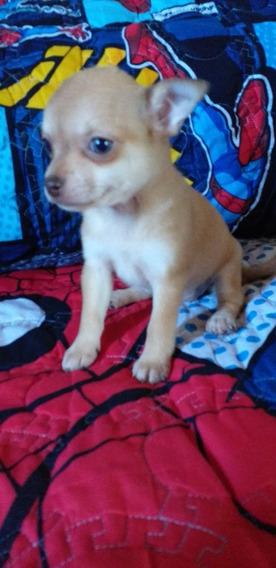 Chihuahuas Mini Hembra Ojos Verdes