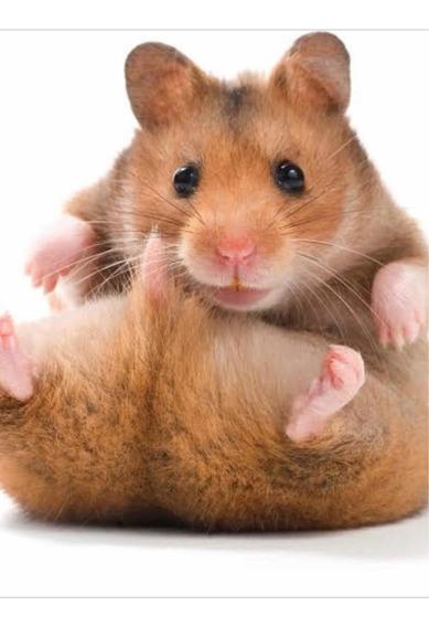 Procuro Hamster Para Comprar