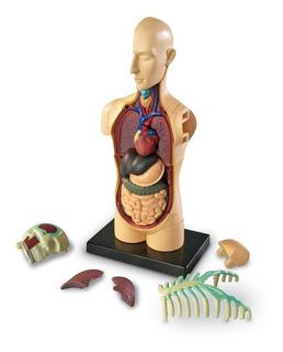 Cuerpo Humano Anatomía Modelo