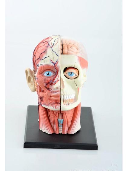 Modelo Anatomico Cabeza, Dental Esqueleto 13cm