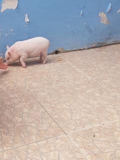 Vendo Hermosa Mini Pig 2 Meses De Nacida Rosadita Vietnamita
