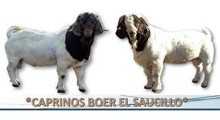 Sementales Chivos Boer De Registro Cabras