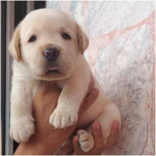 Labrador Chocolate, Miel Y Negro.. Aparta Tu Cachorro !!!