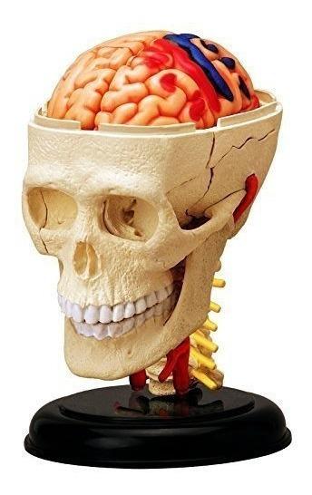 Modelo De Craneo Y Cerebro Anatomia Humana 4d Vision