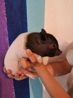 Mini Pig Hidalgo Entrega 10 De Mayo 2020 Solo Una Hembra