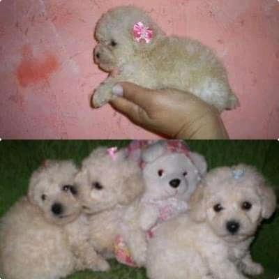 Imagen 1 de 3 de Poodle Mini Toys Hembra Ay Macho