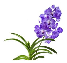 Kit 4 Mudas Orquídeas Vanda Pre Adultas Plantemais