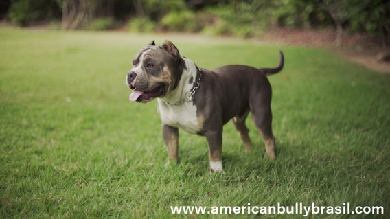 American Bully Pocket Pedigree + 100x Campeões Da Raça !