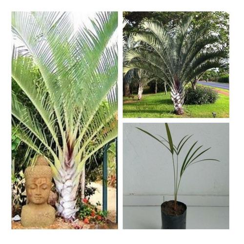 Imagem 1 de 3 de Muda De Palmeira Triangulo