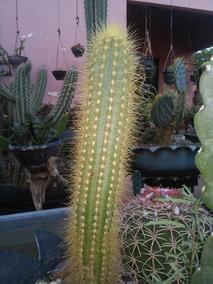 Mudas De Cactus Mandacaru Facheiro