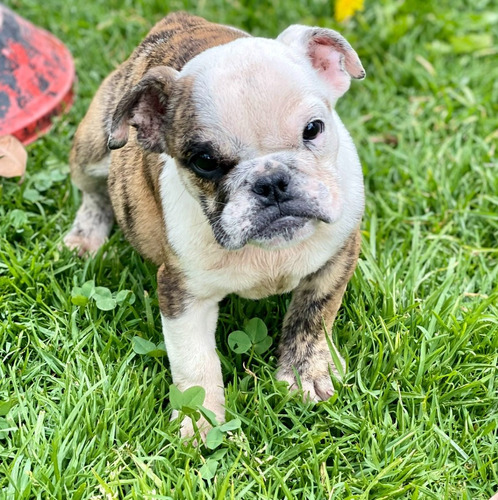 Imagen 1 de 7 de Cachorras Bulldog Inglés Puras Solo Hembras
