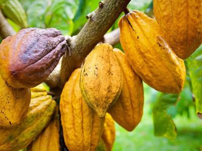 Finca De Cacao De 1090 Tareas En Cotui