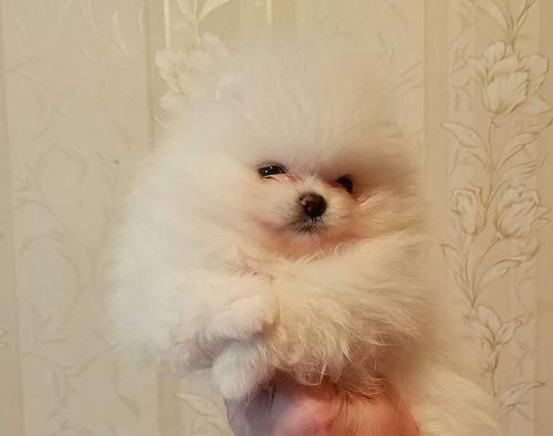 Cachorros Pomerania Lulu, Padres Importados Full Pedigree