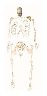 Esqueleto Padrão Humano Desarticulado 168cm Modelo Anatomic