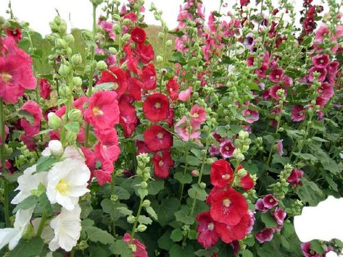 Imagem 1 de 7 de 15 Sementes De Malva Rosa - Malvavisco - Alcea Rosea - Flor