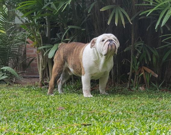 Macho Bulldog Ingles Ofrece Servicio