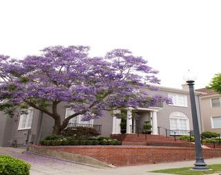 Jacaranda (1m Altura) Original Arbol Flor Jardin Maceta