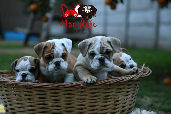 Seña Bulldog Inglés ,francés , Pug