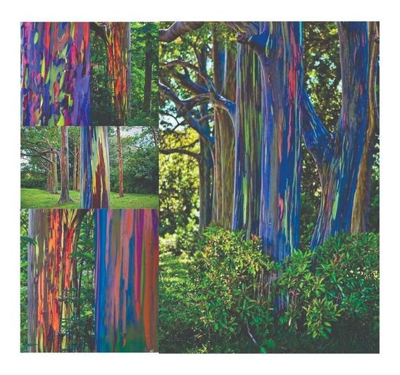 2000 Sementes Eucalipto Arco Iris + Brinde*