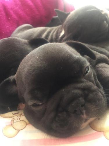 Imagem 1 de 3 de Fêmeas De Bulldog Francês