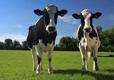 La Vaca Se Llama Silvio Y Es Fabricante De Dulce De Leche