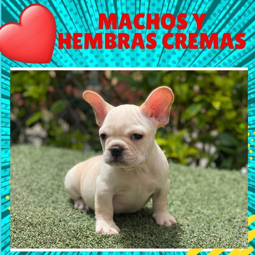Imagen 1 de 1 de Bulldog Frances Cachorros Puros