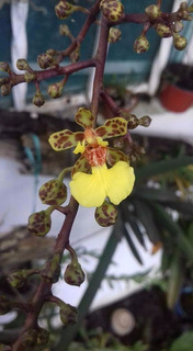 Orquidea Cohniella Ascendens