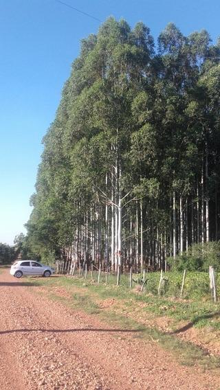 Area Rural Com Floresta De Eucalipto