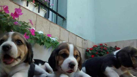 Cachorros Beagle Tricolor C/fca