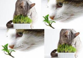 700 Sementes De Erva Do Gato Catnip # Pronta Entrega
