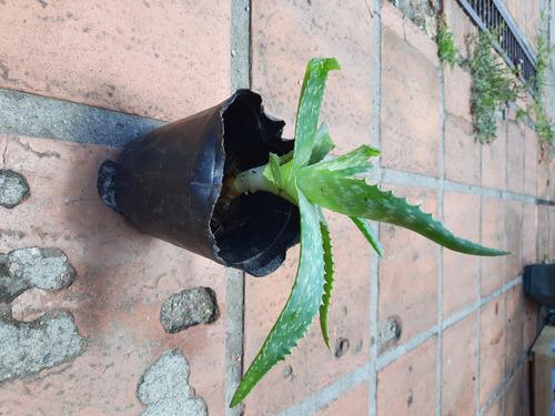 Imagen 1 de 10 de Planta Aloe Vera Medicinal: Envio Gratis Solo Montevideo