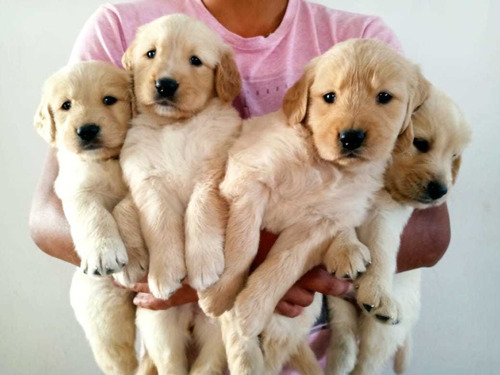 Cachorros Golden Retriever.
