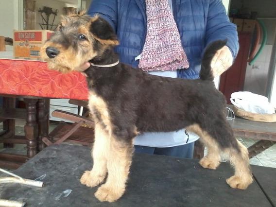Airedale Terrier Cachorro Macho 75 Dias , Calidad Exposicion