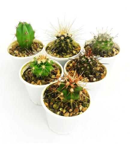 Cactus Miniatura Regalos Eventos Bodas 4,5cm