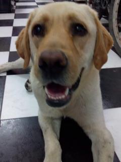 Cachorro Labrador En Adopcion Responsable ! (ve Poco)