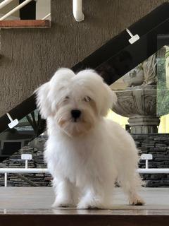 Cachorro Bichon Maltes Macho 4 Meses